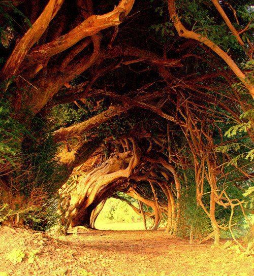 100-year-old-yew-tree